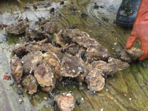 Oysters on deck